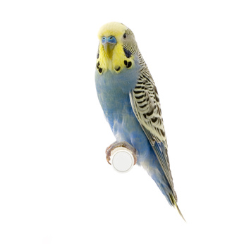 Budgie and Small Parakeet