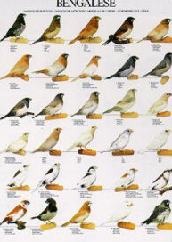 Poster Bengalese Finches 48 x 68cm