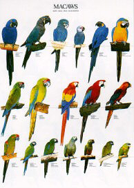 Poster Macaws 68 x 98cm