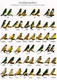 Poster Gouldian Finches 68 x 98cm