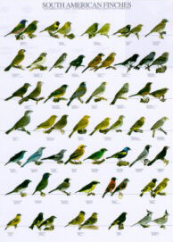 Poster South American Finches 68 x 98cm