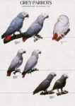Poster African Grey Parrots 48 x 68cm