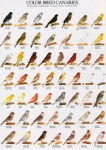 Poster Colour Canaries 2 68 x 98cm