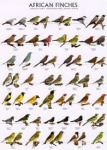 Poster African Finches 2 68 x 98cm